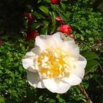 Camellia 'Jury's Yellow' - Camellia 'Jury's Yellow' - Camelia