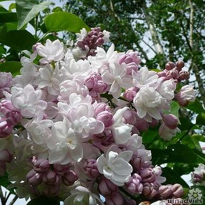 Syringa vulgaris 'Beauty of Moscow' - Sering