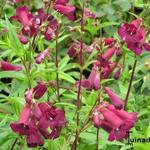 Slangekop - Penstemon 'Rich Ruby'
