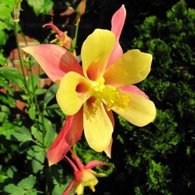 Aquilegia hybride -