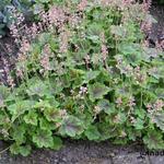 X Heucherella alba 'Rosalie' -