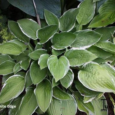 Hosta 'Zager's White Edge' - Hartlelie