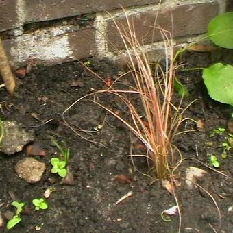 Zegge - Carex \'Bronze Reflection\'