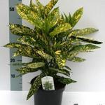 Aucuba japonica 'Angelon' - Aucuba japonica 'Angelon' - Broodboom