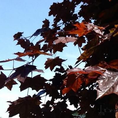 Acer platanoides 'Royal Red' -