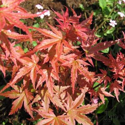 Acer palmatum 'Phoenix' -