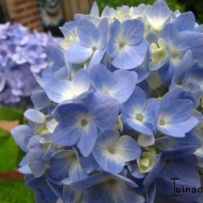 Hydrangea macrophylla 'FOREVER & EVER' -