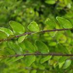 Chinese kamperfoelie - Lonicera pileata