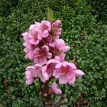 Prunus persica - Perzikboom