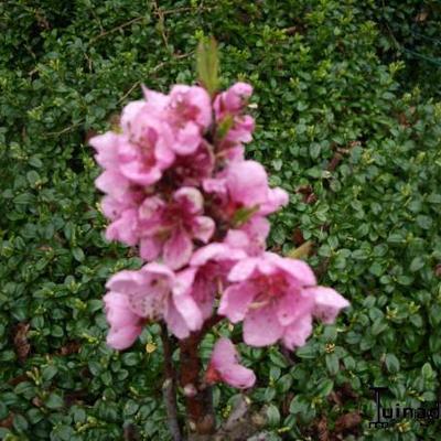 Prunus persica -