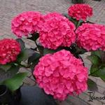 Hydrangea macrophylla BLACK DIAMONDS 'Red Angel' - Hortensia, Bolhortensia
