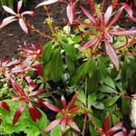 Pieris japonica 'Katsura' - Rotsheide - Pieris japonica 'Katsura'