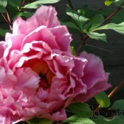 Paeonia suffruticosa 'Yachiyo-Tsubaki' -