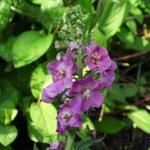 Paarse toorts - Verbascum phoeniceum