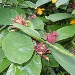 Calycanthus floridus - Calycanthus floridus - Wijnknop, Specerijstruik, Meloenboompje