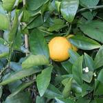 Citrus sinensis - Citrus sinensis - Sinaasappelboompje