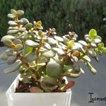 Crassula ovata 'Minor' - Vetplant