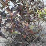 Physocarpus opulifolius 'Red Baron' - Blaasspirea - Physocarpus opulifolius 'Red Baron'