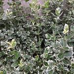 Euonymus fortunei 'Emerald Gaiety' - Bontbladige kardinaalsmuts - Euonymus fortunei 'Emerald Gaiety'