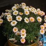 Argyranthemum frutescens DAISY CRAZY-serie - Argyranthemum frutescens DAISY CRAZY-serie - Margriet, Struikmargriet