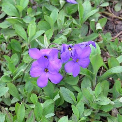 Phlox stolonifera 'Violet Vere' -