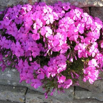 Phlox subulata 'McDaniel's Cushion'