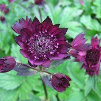 Astrantia major 'Claret'
