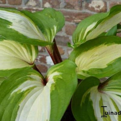 Hosta 'Raspberry Sundae' - Hartlelie
