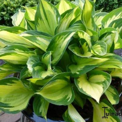 Hosta 'Morning Light'  - Hartlelie/Funkia