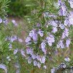 Rosmarinus officinalis 'Sissinghurst Blue' - Rosmarinus officinalis 'Sissinghurst Blue' - Rozemarijn, Kruiprozemarijn