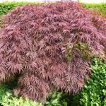 Acer palmatum  dissectum 'Inaba-shidare' - Acer palmatum  dissectum 'Inaba-shidare' - Japanse esdoorn