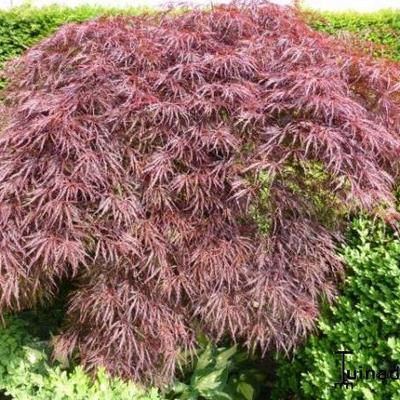 Acer palmatum  dissectum 'Inaba-shidare' -