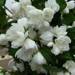 Philadelphus 'Snowbelle' - Boerenjasmijn - Philadelphus 'Snowbelle'