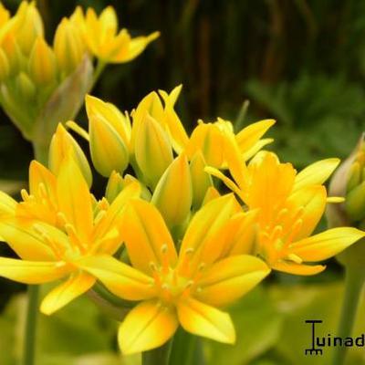 Allium moly -