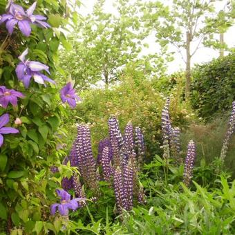 Lupinus  russell 'The Governor'