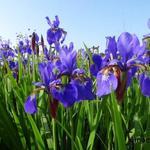 Siberische lis - Iris sibirica
