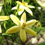 Triteleia ixioides 'Starlight'  -