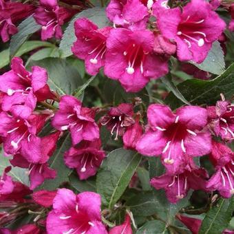 weigelia weigela 39 bristol ruby 39 planten online kopen. Black Bedroom Furniture Sets. Home Design Ideas
