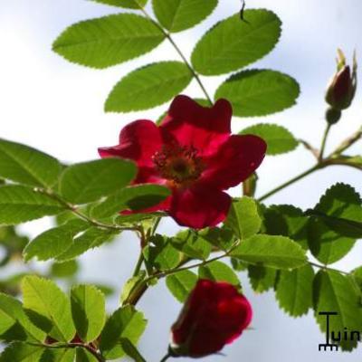 Rosa moyesii 'Geranium' -
