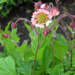 Geum rivale 'Coppertone' -
