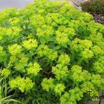 Euphorbia epithymoides 'Midas' - Euphorbia epithymoides 'Midas' - Wolfsmelk