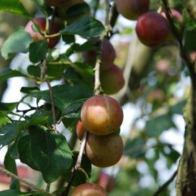 Prunus domestica 'Reine Claude d'Althan' -