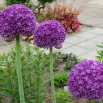 Allium 'Ambassador' - Allium 'Ambassador' - Sierui