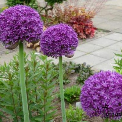 Allium 'Ambassador' -