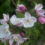 Deutzia purpurascens 'Kalmiiflora' - Bruidsbloem - Deutzia purpurascens 'Kalmiiflora'