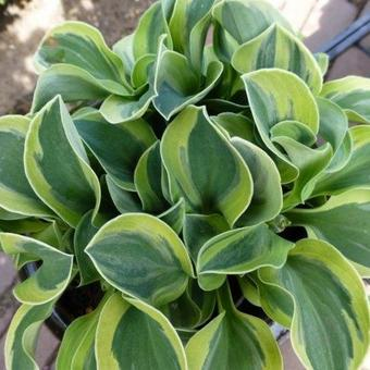 Hosta 'Frosted Mouse Ears'