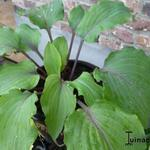 Hosta 'Lady in Red' -