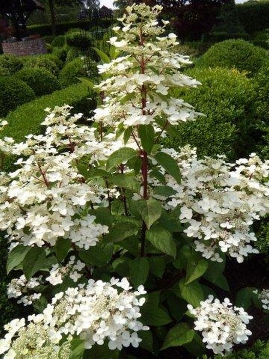 pluimhortensia hydrangea paniculata 39 wim s red 39. Black Bedroom Furniture Sets. Home Design Ideas