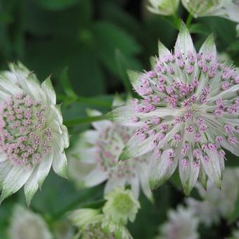 Astrantia major 'Canneman'