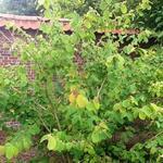 Corylopsis sinensis - Corylopsis sinensis - Schijnhazelaar